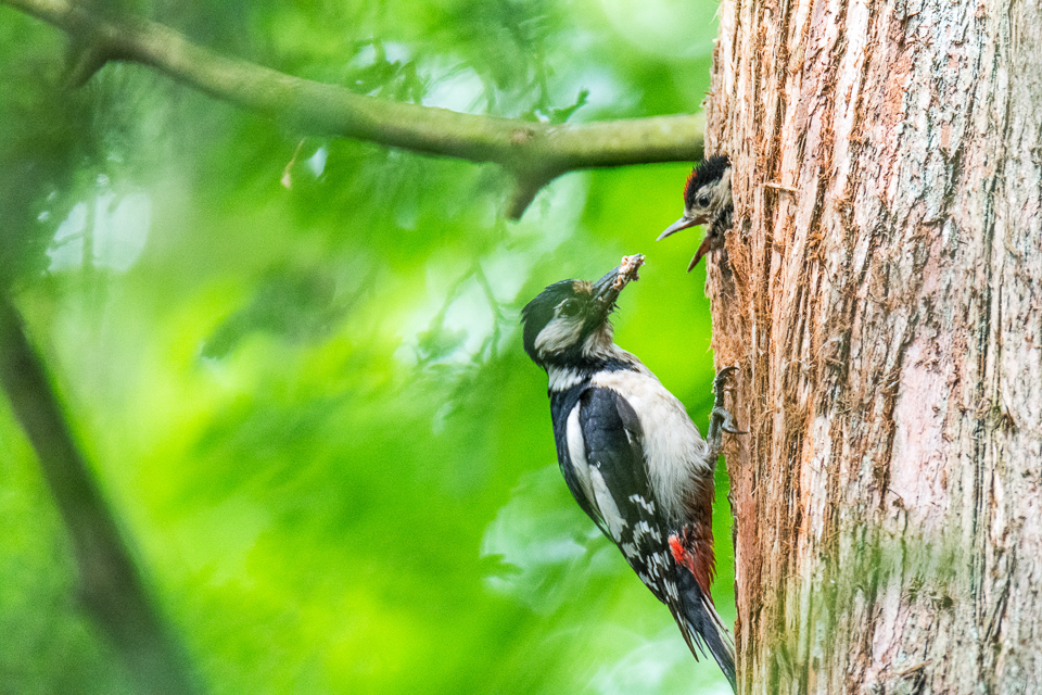 Moeder Grote bonte specht  met jong / Mother Great spotted woodpecker with juvenile